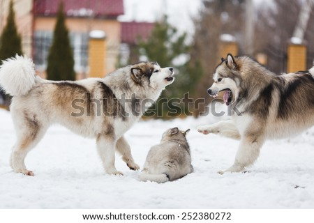 Two dogs breed malamutes punish your puppy - stock photo