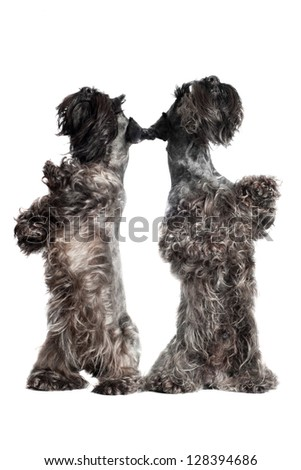 two dogs dancing - stock photo