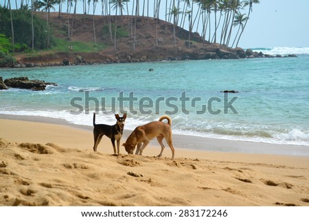 Two Dogs Digging a Hole On the Ocean Beach Shot. Sri Lanka Island. Indian Ocean Beach. Playing Dogs. Nikon Camera - stock photo