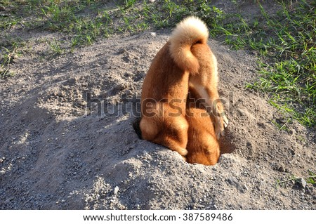 two dogs digging hole - stock photo
