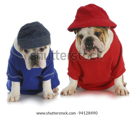 two dogs - english bulldogs wearing red and blue - stock photo