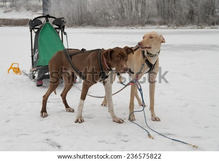 two dogs harnessed to sports harnesses snowdogs, resting after training run - stock photo
