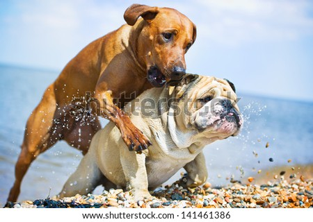 Two dogs having fun on the beach at the sea - stock photo