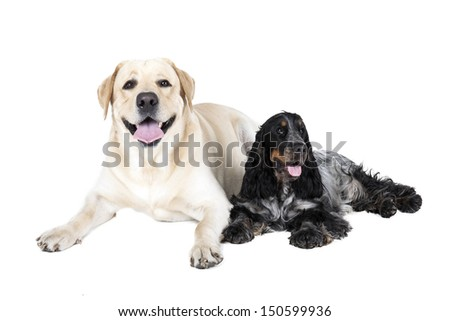 two dogs (Labrador Retriever and English Cocker Spaniel) on a white background - stock photo