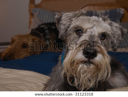 Two dogs laying on a queen bed inside - stock photo