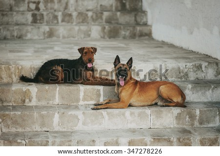 two dogs, Malinois and Airedale, lie on the steps
