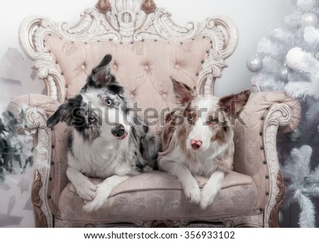 Two dogs of breed the border collie in the Studio with Christmas decorations - stock photo