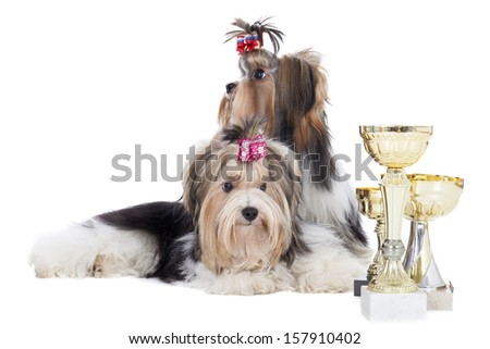Two dogs of breed Yorkshire terrier with cups on a white background in studio - stock photo