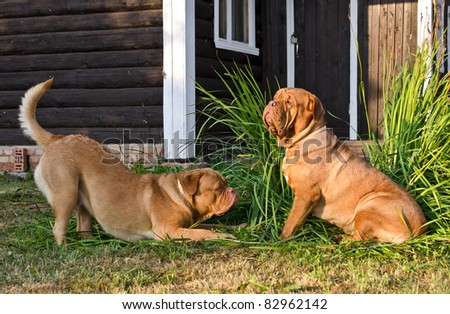 Two dogs of Dogue De Bordeaux breed playing near wooden house - stock photo
