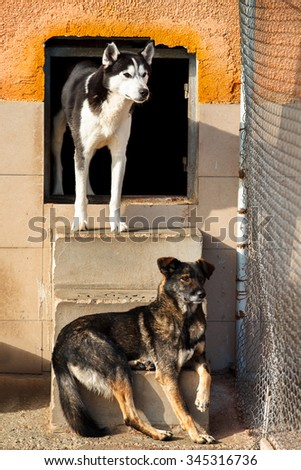 Two dogs, one of them Siberian husky looking one derection behind fence in a dog shelter. - stock photo