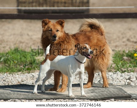 Two dogs outdoors: purebred jack russel and mixed breed dog - stock photo