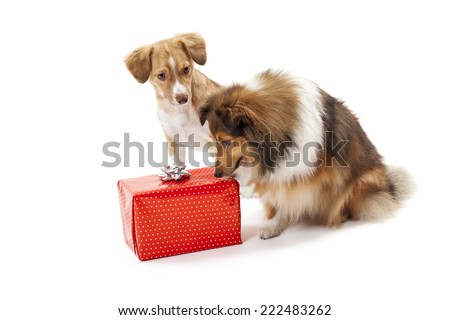 Two dogs over white background looking at red gift box - stock photo