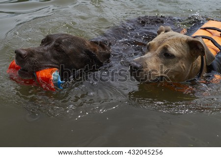 Two dogs play fetch in the water.