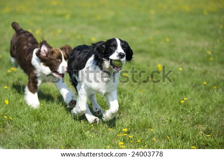 Two dogs playing chase - stock photo