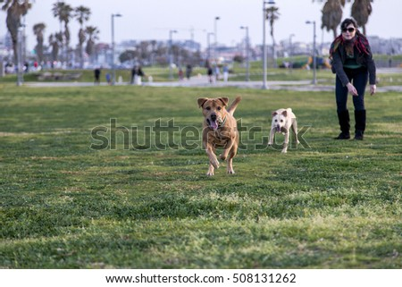 Two dogs playing together in the park, running jumping and chasing, with their owner.
