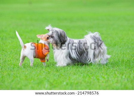 Two dogs playing together on grass field - stock photo
