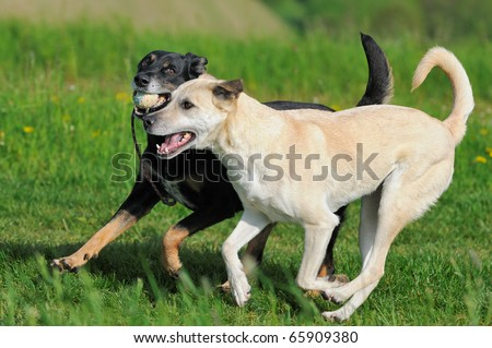 two dogs run with ball kanaan-shepherd and terrier - stock photo