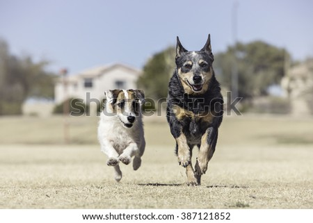 Two dogs running toward the camera - stock photo