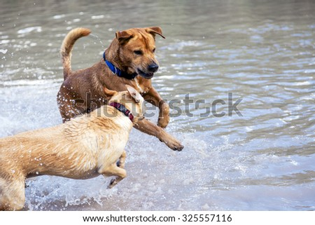 Two dogs, siblings by adoption, playing and enjoying in a natural pool in rural countryside on a spring day.