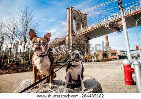 Two dogs sitting on a rock in front of the Brooklyn Bridge, New York City. - stock photo