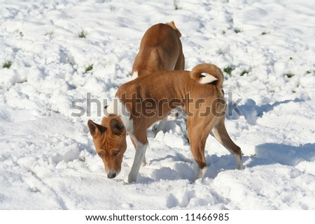 two dogs sniffing unexpected spring snow - stock photo