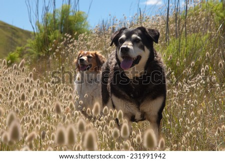 two dogs standing on a track among flowering Lagurus Ovatus bunnies tails or hares tails ornamental grasses beach scene New Zealand  - stock photo