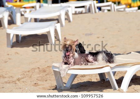 Two dogs sunbathing on the beach sitting on a deck chair - stock photo
