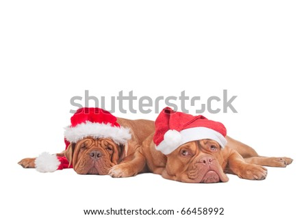Two dogs with Christmas Hats waiting for Santa - stock photo