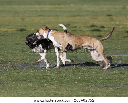 Two dogs wrestling and playing at the park - stock photo