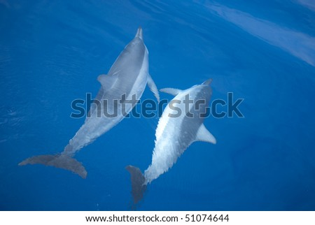Two dolphins, swimming in the pacific ocean near Hawaii, during mating ceremony