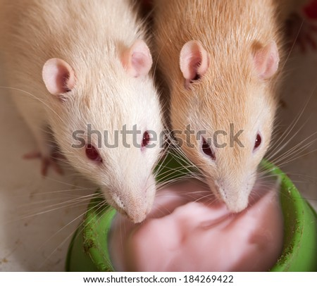 two domestic rats eating yogurt close up