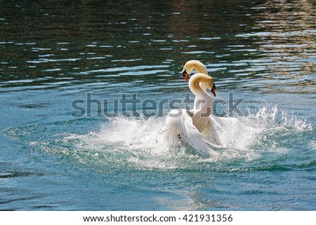 Two dominant swans fighting for position on the waters of Reuss river in the city of Lucerne, Switzerland. - stock photo