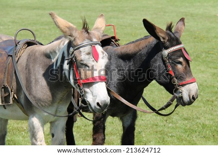 Two Donkeys Waiting to Take Children on a Ride. - stock photo