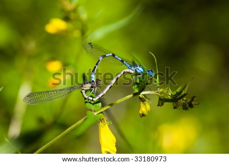 Two dragonflies during sex on a flower