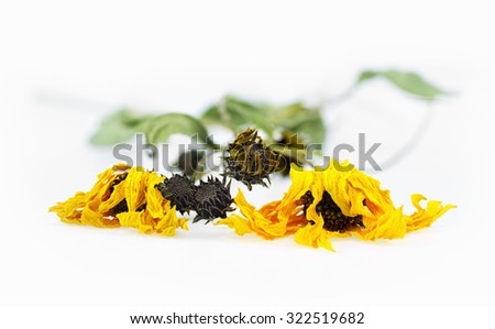 Two dried arnica herbs with blossoms in a white background - stock photo