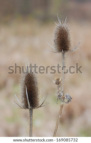 Two dried egg shaped teasel flowers rise above the prairie. Their spiny bracts and prickly stems provide protection to the seeds inside its flower head. - stock photo