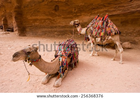 Two dromedary waiting to transport tourists into Petra in Jordan - stock photo