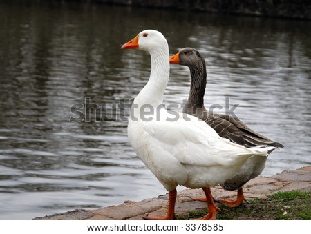 Two ducks inspecting the water and ready to take a plunge - stock photo