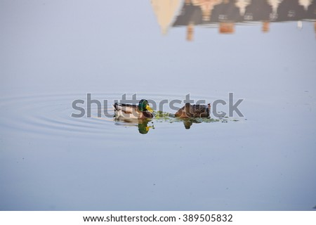 two ducks - male and female - in the middle of a lake eating some algae. Generating some beautiful wave pattern with their webbed feet movements in the water reflection of a building at the top! - stock photo