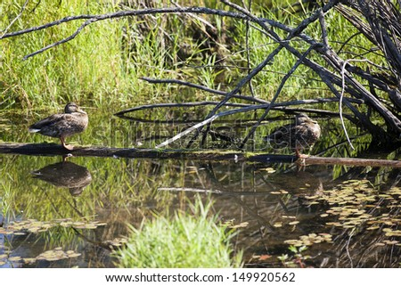 Two ducks perched on log at Fernan Lake, Idaho. - stock photo