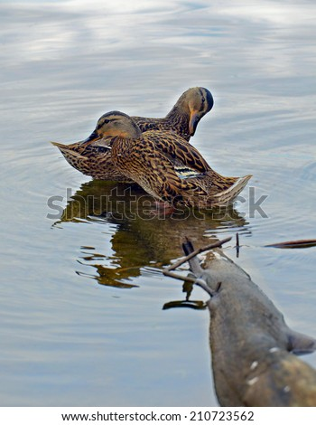 Two ducks standing on a log preening, the sky is reflected in the water. - stock photo