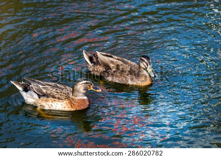 Two ducks swim in pond. Blue water and wave reflection on water surface. - stock photo