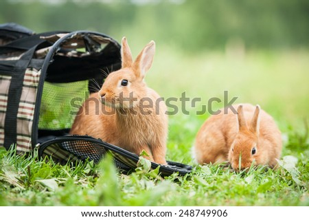Two dwarf rabbits going for a walk - stock photo