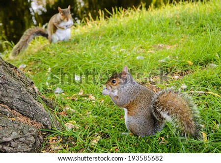 Two Eastern Fox squirrels (Sciurus niger) in the park. The closest squirrel eats the nuts and the second one looking on her. Competition and survival concepts. - stock photo