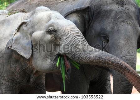 Two elephant are enjoying eating. - stock photo
