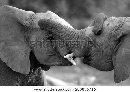 Two elephant bulls interact and communicate while play fighting. - stock photo