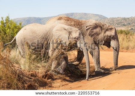 two elephants crossing a gravel road in Pilanesberg National Park, South Africa - stock photo