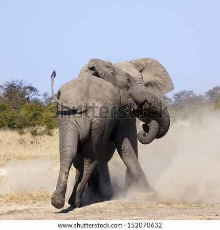 Two Elephants (Loxodonta africana) fighting in the Savuti region of Botswana in Southern Africa