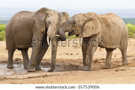 Two elephants showing some affection while at