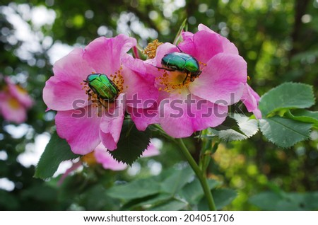 """Two emerald gold bugs """"Cetonia aurata"""" on the pink dog roses. Selective focus. - stock photo"""